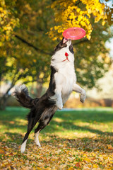 Border collie catching frisbee in the park in autumn