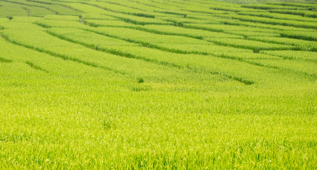 Green rice field landscape