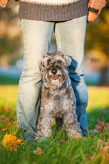 Miniature schnauzer dog standing on man's legs