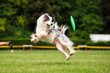 Leinwandbild Motiv Border collie dog catching frisbee in jump