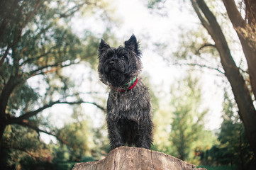 Cairn Terrier dog, portrait close