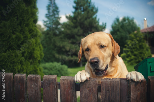 Foto Spatwand Hond Labrador dog peeping from behind a fence