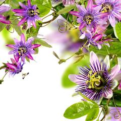 Passifloras: x belotti, incarnata, violacea, Kaiserin Eugenie :)