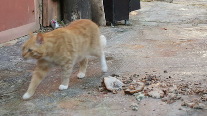 Ginger cat sniffing food