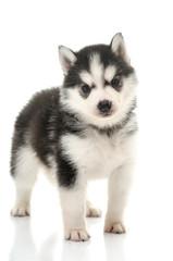Beautiful siberian husky puppy standing