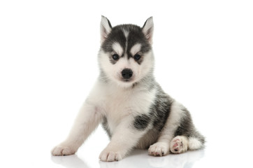 Cute siberian husky puppy on white background
