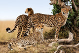 Cheetah mother and cubs looking for food