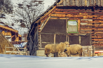 Old wooden cottage and sheep, Magura village, Romania