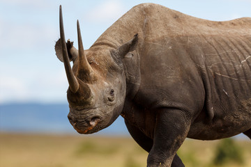 Portait of Black Rhino Karanja
