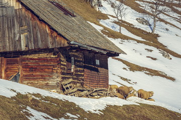 Wooden house and sheep, Magura village, Romania