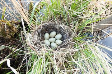 Nest of the Anas platyrhynchos.