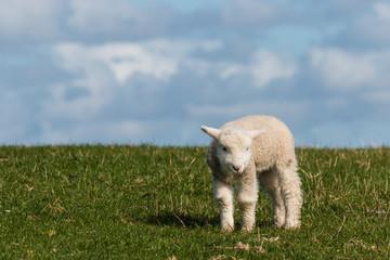 newborn lamb on green grass