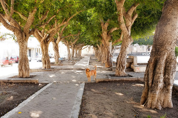 Avenue Of Trees In Siracusa, Sicily