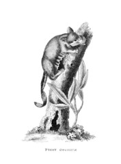 Victorian engraving of a pygmy opossum.