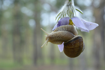 In the forest, a flower pasqueflower crawling snail.