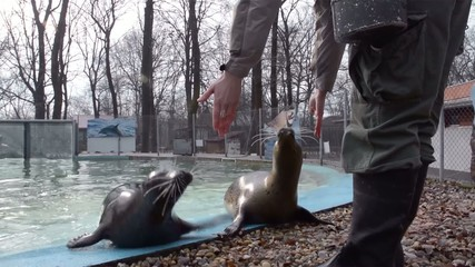Training of a harbour seals (Phoca vitulina): rolling