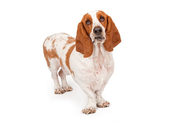 Basset Hound Dog Funny Expression