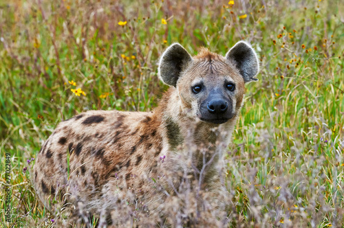 Foto op Canvas Hyena Spotted hyena frontally