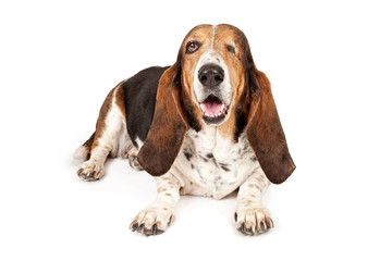 Basset Hound Dog Missing One Eye