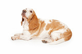 Well Behaved Basset Hound Laying poster