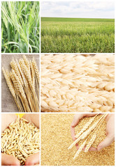 Wheat grain and ears collage