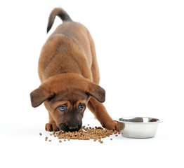 Cute puppy eating isolated on white