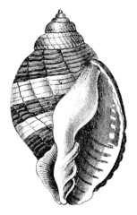 19th century engraving of a sea shell