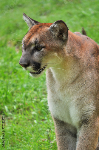 Foto op Plexiglas Puma Cougar on green backgrond
