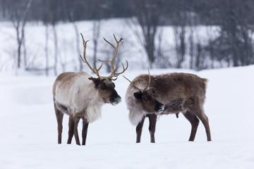 Caribou in winter