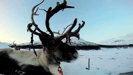 Close up majestic grey horned Reindeer resting before tourist sledge ride Scandinavia