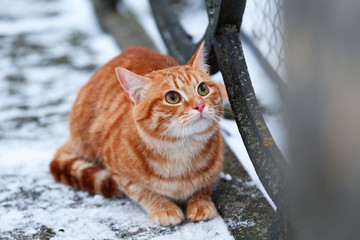 Red cat on fence with snow background