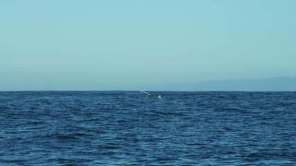 Humpback Whale fin raised ocean surface, Pacific, Monterey, California, USA