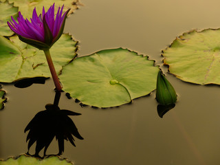 lotus flower in the city pond