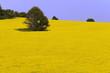 yellow landscape with rape field