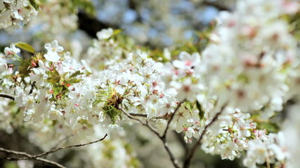 Sakura Tree Outdoors Japanese Cherry Blossom Shinjuku Gyoen Tokyo