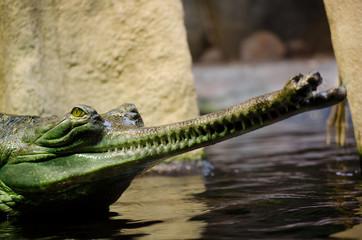 Indian gavial , Gavialis gangeticus