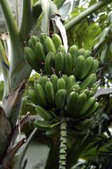 Green banana fruits growing at the banana plant..
