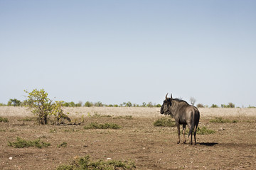 wildebeest standing in a burned savannah, Kruger, South Africa