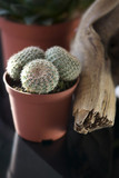 Small Cactus for Decoration - 77052290