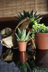 Aloe Vera for Decoration