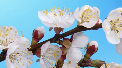 Blooming branch of orchard tree.