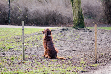 Red Setter dog tied to wooden post