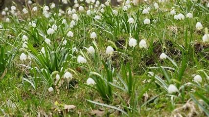 Märzbecher im Frühjahr in Deutschland