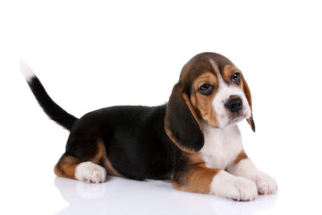 Beagle puppy on a white background