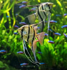 Angelfish Pterophyllum scalare