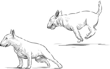 bull terrier sketch