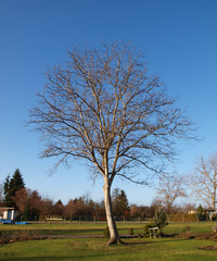 Walnußbaum ohne Blätter