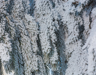 Fur-tree branches covered by hoarfrost