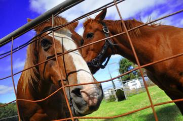 cheval australie 2