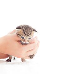 striped kitten in human hands